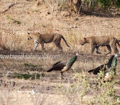 Leopard crossing